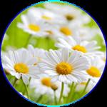 Kamilla, gyulladásgátló és enyhe nyugtató hatású gyógynövény