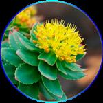 Rhodila rosea, aranygyökér remek stresszcsökkentő és teljesítményt növelő gyógynövény